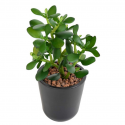 Crassula Jade Plant artificiel 30cm