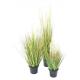 Onion grass graine de 60 à 120cm