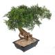 Bonsai artificiel Aralia en coupe 50 à 95cm