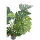 Philodendron géant *15 (85cm)