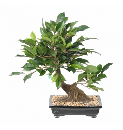 Bonsaï ficus artificiel en coupe 38cm