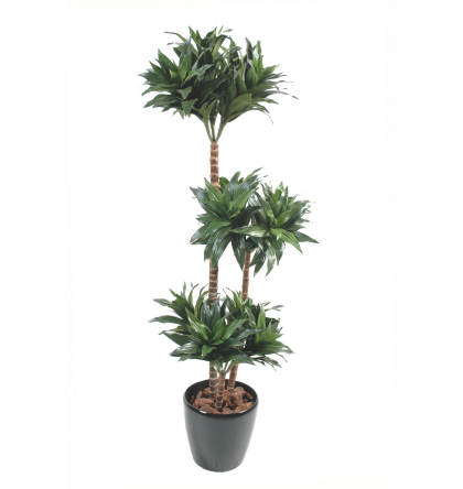 Dracena fragrans (120cm)