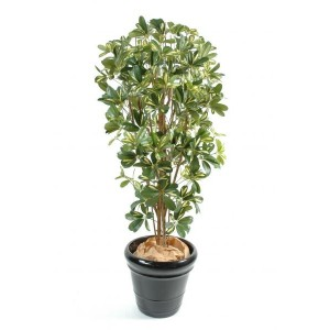 Schefflera (150cm)