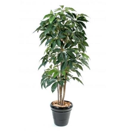 Schefflera amata (210cm)