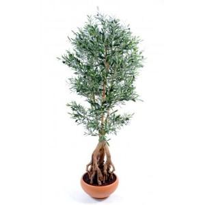 Olivier root (175cm)