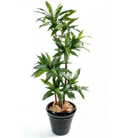 Dracena janet craig (145cm)