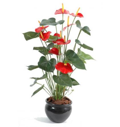 Anthurium (75cm)