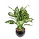 Dieffenbachia (50cm)