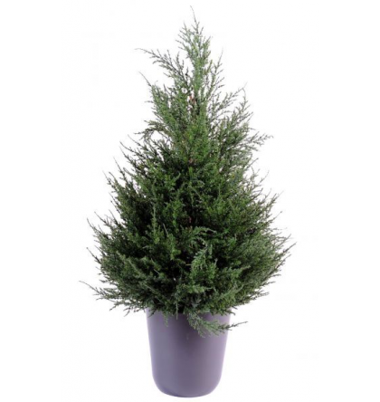 Cyprès juniperus (65cm)