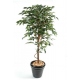 Ficus tronc simple