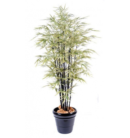 Bambou black shiroshima (125cm)