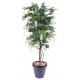 Glycine multitree (110cm)