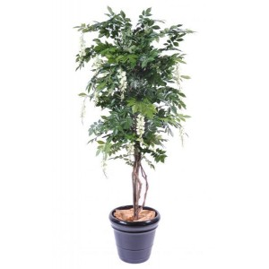 Glycine multitree (180cm)