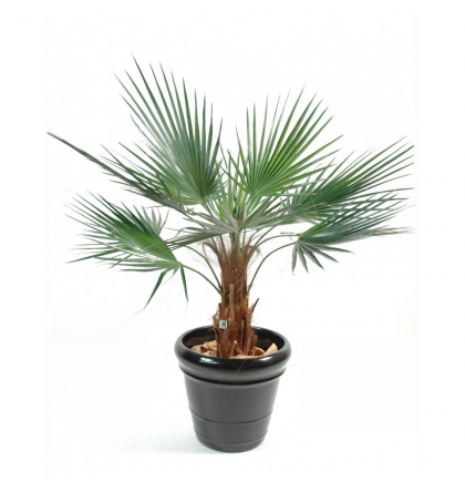 Palmier Washingtonia artificiel 120 et 190cm