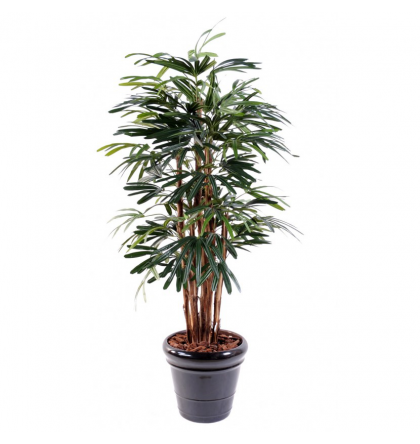 Raphis lady palm