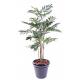 Palmier Parlour Plante