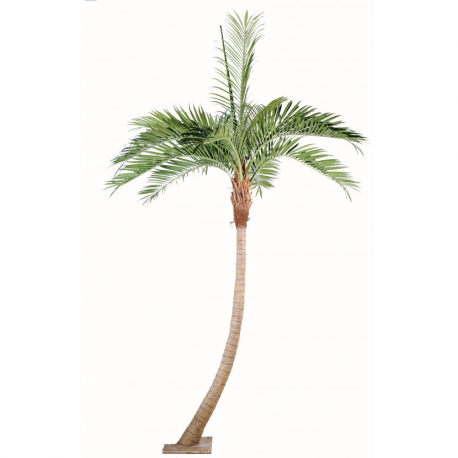 Palmier coconut courbe