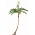 Palmier Coconut courbe 270 et 400cm