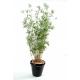 Bambou multitree oriental (160cm)