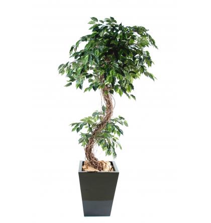 Ficus S (180cm)