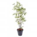 Bambou Black S artificiel 150 à 290cm
