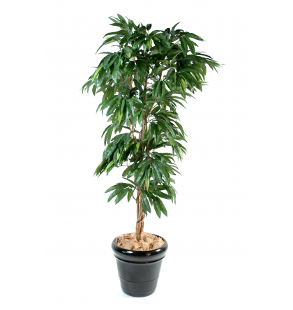 Manguier (180cm)
