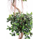Ficus bonsai en coupe