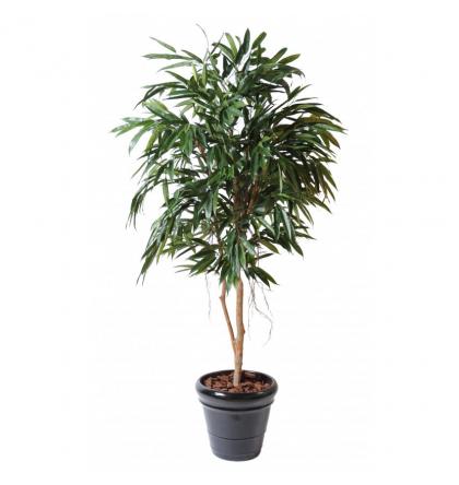Ficus Alii Royal artificiel 190 et 250cm