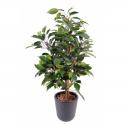 Ficus artificiel Natasja 60cm